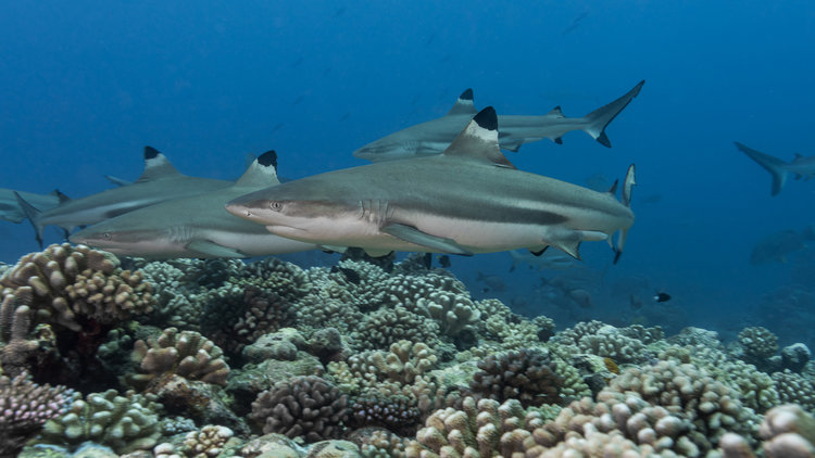 Meet the reef sharks