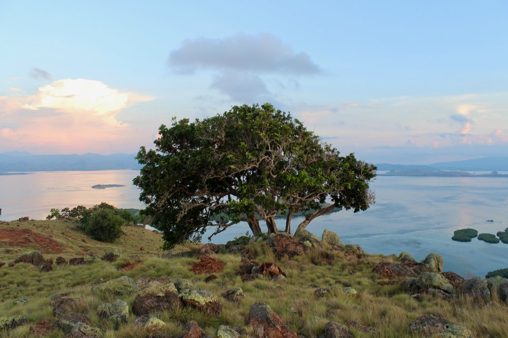 A huge tree is growing fertile in the Sebayur Island