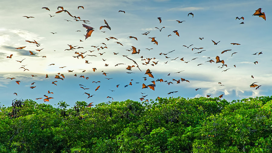 Flying foxes on the background of mangroves | Hello Flores