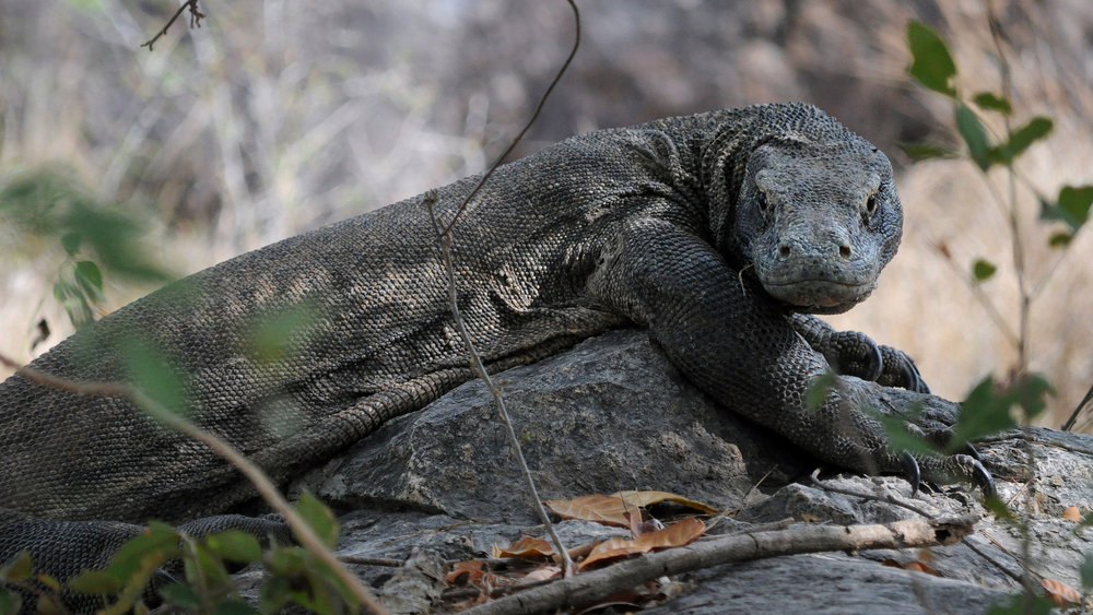 Rinca Island is also a home for the famous Komodo dragons