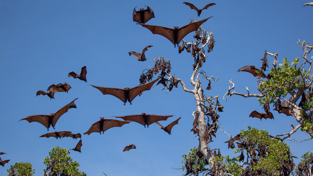The bats in Kalong Island is relatively big and always flying in pack