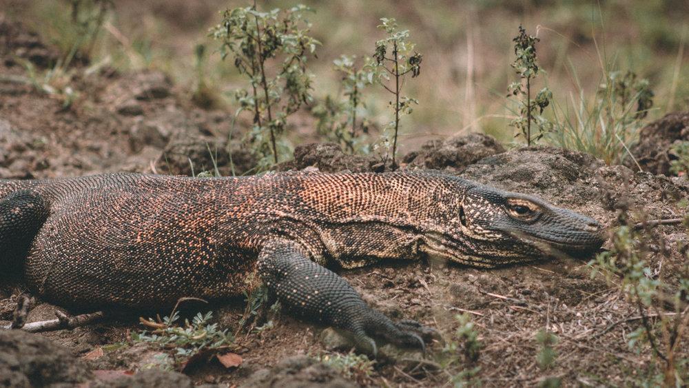 A glimpse of the Komodo dragon, native habitant to the Komodo Island | Hello Flores