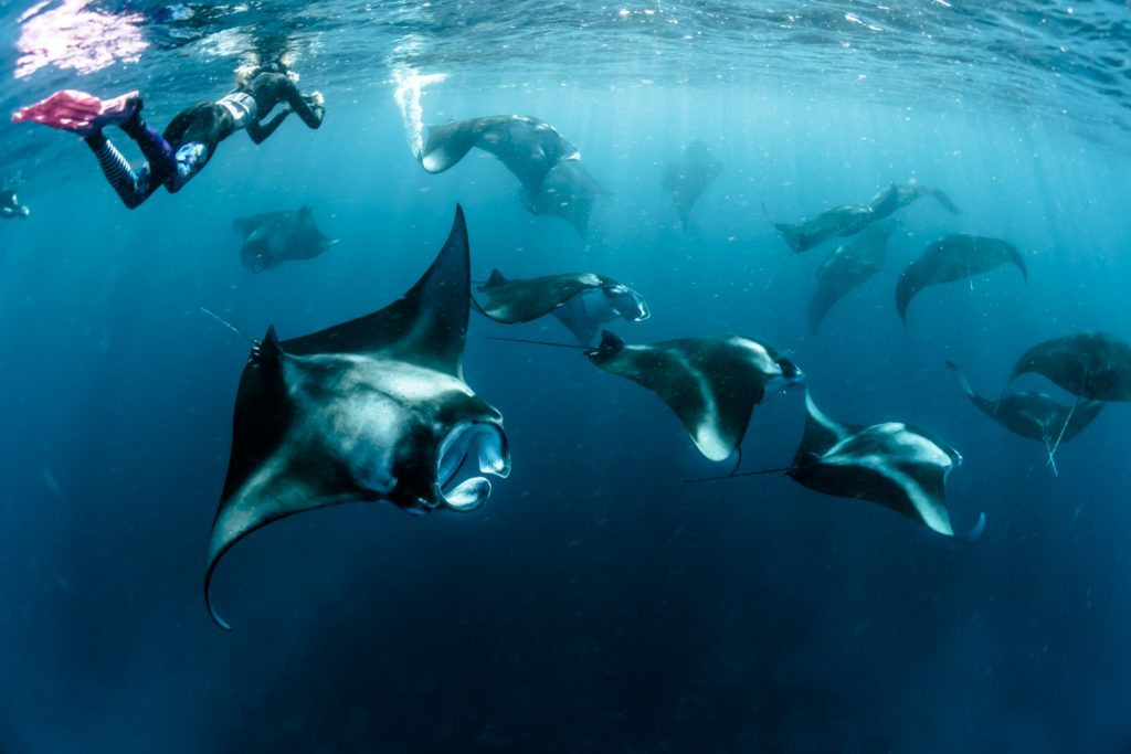 snorkeling or diving with manta rays is one the best experience you can do inside the Komodo National Park | Hello Flores