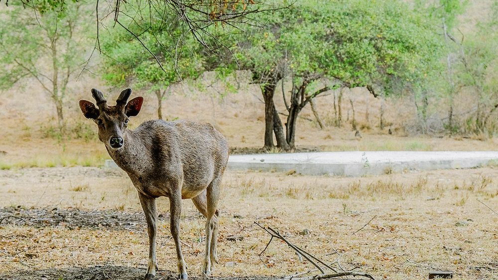 A deer is one of the herbivore animal inhabiting Rinca Island