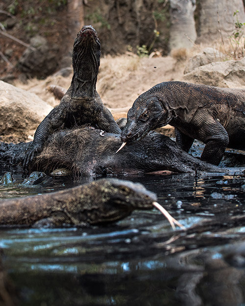 Couple of Komodo dragon is bathing in the river