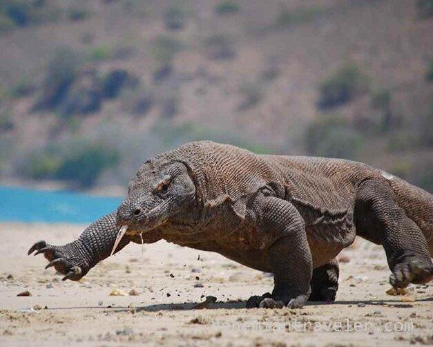 A Komodo dragon is lurking in the beach
