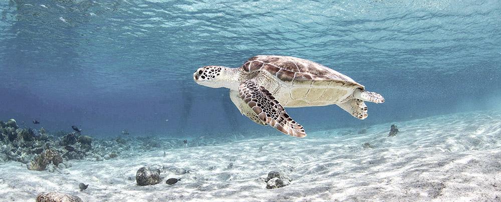 Turtle | Hello flores