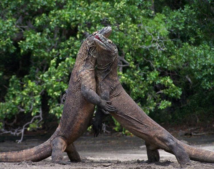An intense fight between two Komodo dragon