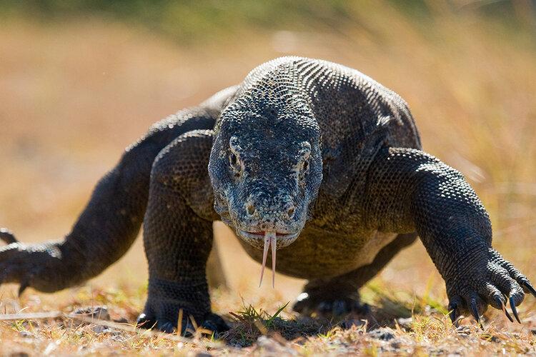 A Komodo dragon is running in the savanna