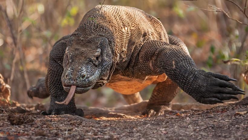 A Komodo dragon on its natural habitat