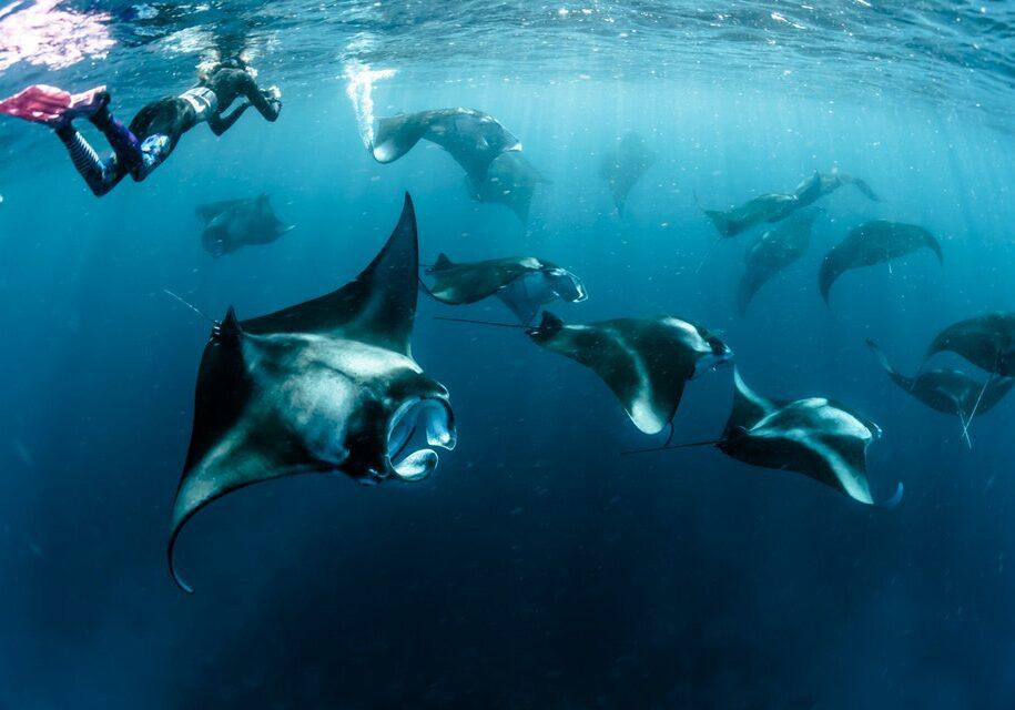 Amazing Sting Ray Snorkeling | Hello Flores